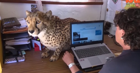 Woman Credits Her Beloved Pet Cheetah With Helping Her Beat Breast Cancer | animals and prosocial capacities | Scoop.it