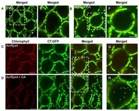The Role of Autophagy in Chloroplast Degradation and Chlorophagy in Immune Defenses during Pst DC3000 (AvrRps4) Infection | Plants&Bacteria | Scoop.it