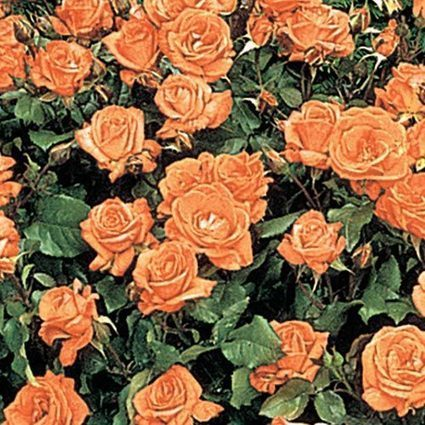 Apricot Princess Rose | Springhill Nursery | Scoop.it