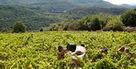 2013 : vers un millésime disparate   Epicure : Vins, gastronomie et belles choses   Scoop.it