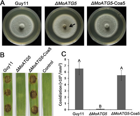 An autophagy gene, HoATG5, is involved in sporulation, cell wall integrity and infection of wounded barley leaves | Rice Blast | Scoop.it