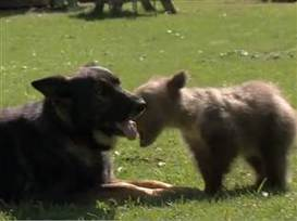Awww-some! 'Too Cute' features baby bear and her dog BFF - TODAY.com | BEST GSD VIDEOS | Scoop.it