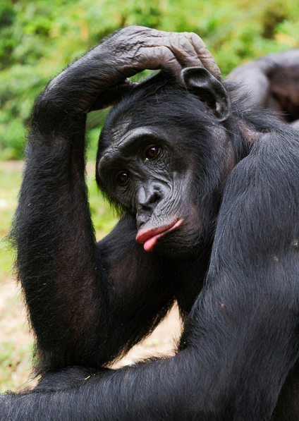 There are scenarios where chimpanzees are more intelligent than us: Chimps outplay humans in brain games | Amazing Science | Scoop.it
