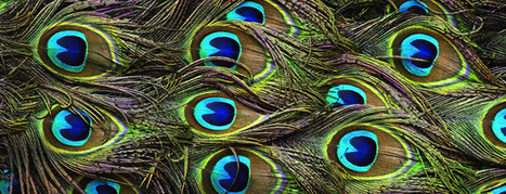Harnessing The Power Of Peacocks To Make Colorful Images | Biomimicry | Scoop.it