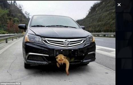 Un chien percuté par une voiture, reste coincé 400 km dans le pare-chocs   CaniCatNews-actualité   Scoop.it
