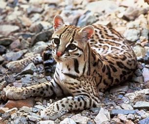 Lawsuit Launched to Protect Endangered Cats in Arizona, Texas From Government Killing | Farming, Forests, Water, Fishing and Environment | Scoop.it