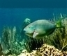 """Study: Science-based regulations needed to protect region's coral reefs - News (""""smart conservation"""") 