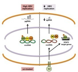 IL6 Inhibits HBV Transcription by Targeting the Epigenetic Control of the Nuclear cccDNA Minichromosome | Hepatitis C New Drugs Review | Scoop.it