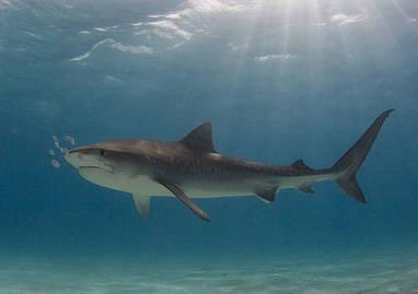 Actualité > Attaques de requin : un spécialiste se confie sur le cas de la Réunion | Tout le web | Scoop.it
