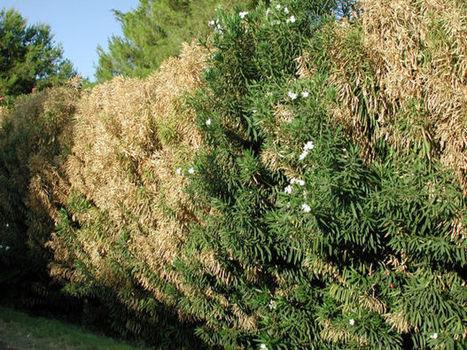 Garden sage: on oleader leaf scorch | Arizona Daily Star | CALS in the News | Scoop.it