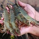 Asian shrimp EMS's cause still a matter of speculation | Aquaculture Directory | Viet Linh | Scoop.it