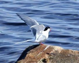 L'oiseau migrateur qui vient de battre tous les records | Arctique et Antarctique | Scoop.it