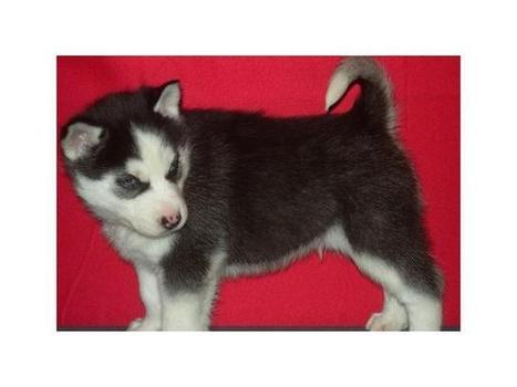 Gorgeous Genuine KC Reg Siberian Husky Puppies Colchester - Classified Ads UK | Place Free Ads | freelly.co.uk | UK Classifieds | Scoop.it