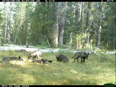 Photo Shows Wolf Pups in Northern California | GarryRogers Biosphere News | Scoop.it