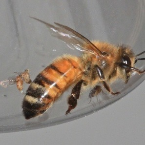 Are Zombie Bees Infiltrating Your Neighborhood? | Observations, Scientific American Blog Network | Pollinators: a plant focus, for backyards | Scoop.it