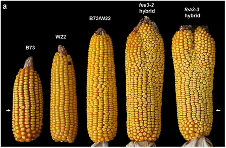 New Stem Cell Discovery Could Boost Corn Crop Yields by an Astounding 50 Percent | Ag app | Scoop.it