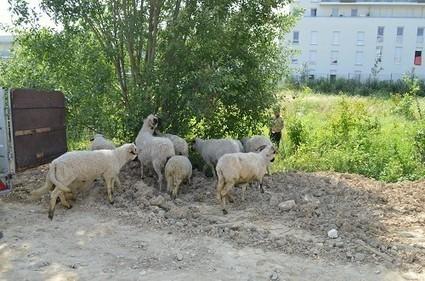 De l'éco-pâturage à Clause Bois-Badeau - Eco-quartier Clause-Bois ... | éco-hameaux, écoquartiers et villes durables | Scoop.it