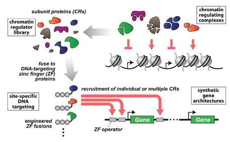 Using Targeted Chromatin Regulators to Engineer Combinatoria and Spatial Transcriptional Regulation | SynBioFromLeukipposInstitute | Scoop.it