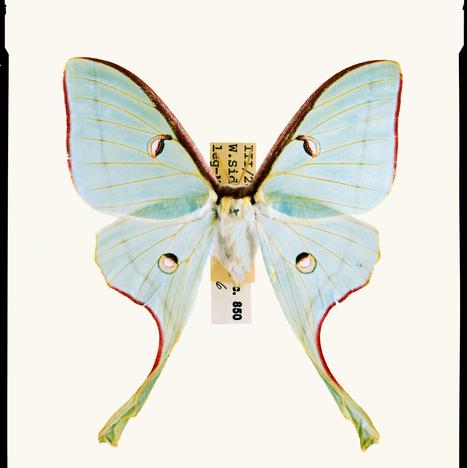 La surprenante guerre acoustique des papillons de nuit contre les chauves-souris - National Geographic | EntomoScience | Scoop.it
