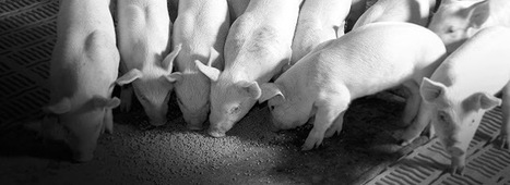 Swine Feed Market is Estimated to Grow at a CAGR of 5.3% for the Period of 2014 to 2019 | Chemical Markets | Market Research | Scoop.it