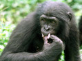 "Polyamory in the News: ""Will the bonobos in our midst make monkeys of us all?"" 