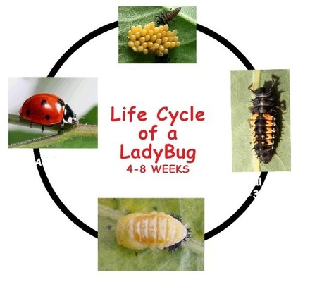 The Life of a Ladybug | Kids Growing Strong | Plants | Scoop.it