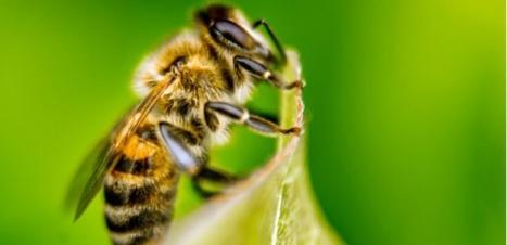 Abeilles : l'Anses préconise d'étendre le moratoire sur certains pesticides | Miel Melipona | Scoop.it