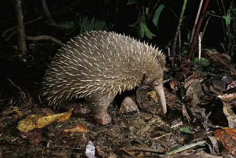 Absurd Creature of the Week: Forget the Platypus. The Echidna Is the True Champ of Weird | WIRED | this curious life | Scoop.it