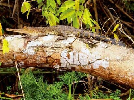 Crocodiles Can Climb Trees, Biologists Find | Biology | Sci-News.com | To be the best teacher | Scoop.it