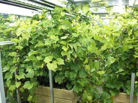Une découverte qui pourrait transformer l'industrie vinicole du Canada - Ag Innovation Ontario | Agriculture bio | Scoop.it