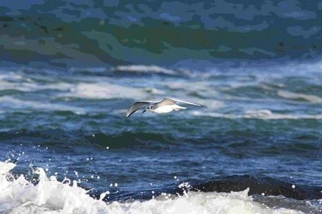 Bonaparte's Gull in Northumberland | Birding Britain & Ireland | Scoop.it