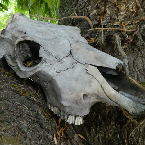 It Takes a Lot of Cow Skulls to Make Good Wine | Quirky wine & spirit articles from VINGLISH | Scoop.it