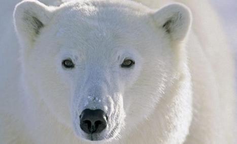 Muséum de Toulouse : la vie  des #ours polaires et des #Inuit | Arctique et Antarctique | Scoop.it