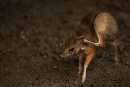 El ciervo más pequeño nace en España - El Universo | Periodismo Ecológico Ambiental | Scoop.it