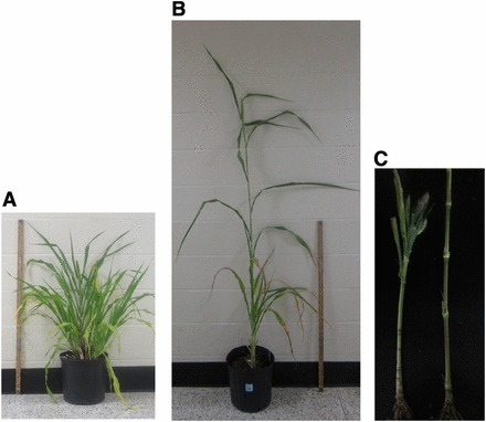 G3. d2 Dwarfing gene in Pearl Millet identified as ABCB1 auxin transporter | Song | Scoop.it