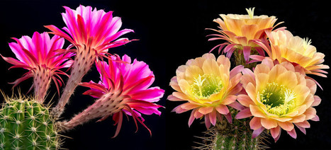 Cactus Flowers: Mother Nature's Fireworks | Navigate | Scoop.it