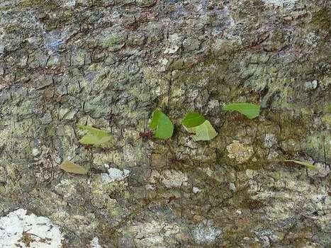 Photo de Formicidé : Fourmi coupeuse de feuille du Panama - Fourmis champignonnistes - Leafcutter ants | Fauna Free Pics - Public Domain - Photos gratuites d'animaux | Scoop.it