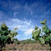 South Africa: 2012 harvest bigger than 2011 in all districts, except Stellenbosch | Vitabella Wine Daily Gossip | Scoop.it