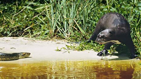 Iberá Project :: The Restoration of Species | Esteros del Iberá Natural Reserve | Scoop.it