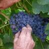 Vendanges en Vallée du Rhône-Harvest in Rhône Valley