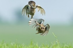 An ancient mating dance offers ranchers, grassland birds a lifeline | Birds | Scoop.it