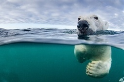 Climate change is 'single biggest threat' to polar bear survival | Géographie(s) | Scoop.it