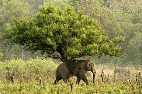 The Asiatic Elephants by their tale | Wildlife of India | Scoop.it