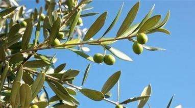 India To Begin Producing Olive Oil   Huileolive   Scoop.it