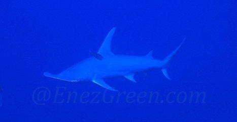 Galapagos : création d'un sanctuaire pour les requins   EnezGreen   Tourisme insulaire durable   Scoop.it