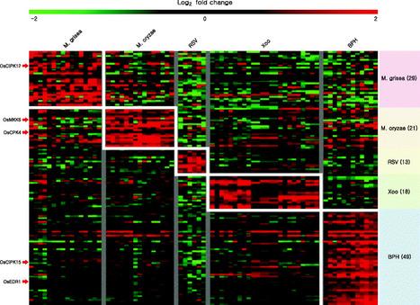 Updated Rice Kinase Database RKD 2.0: enabling transcriptome and functional analysis of rice kinase genes | Rice Blast | Scoop.it