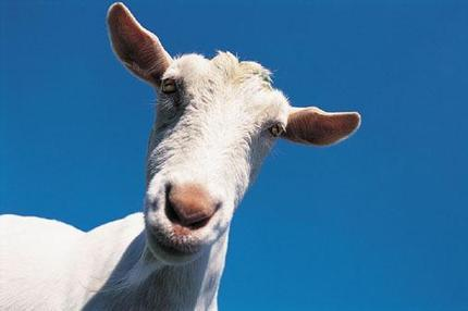 Goats develop regional accents says new study | In Today's News of the Weird | Scoop.it