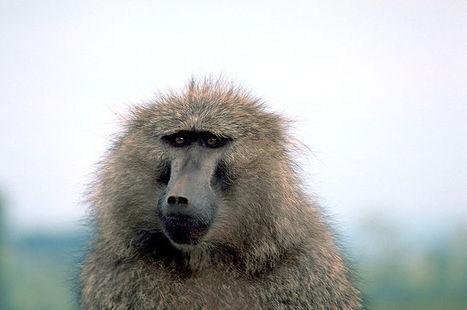 Les babouins aussi doué que les hommes pour l'orthographe ... | orthographe | Scoop.it