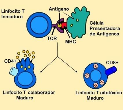Antigen_presentation-es.png (500x447 pixels)   Linfocitos: sus funciones, estructura y su relación con el sistema inmunologico   Scoop.it
