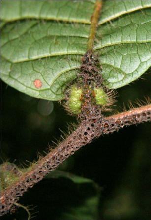 Une fourmi qui fait grandir, fleurir et fructifier sa plante hôte | EntomoNews | Scoop.it